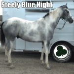 Blue Roan Horse for Sale