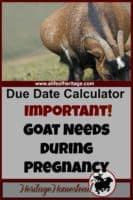 Goat due date calculator | Goat Care during pregnancy | Feed and care a goat needs during pregnancy | Goat pregnancy care | Goat pregnancy | Goat care | Your primary job as a goat owner is to give all of your animals excellent nutrition choices. And pregnant does have even more needs to support optimal health.