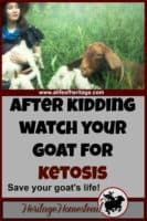 Ketosis in goats | Goat care | Goat care after kidding | Ketosis in goats: how to prevent this condition, the symptoms and the treatment. It is preventable and you can help your goat avoid it.