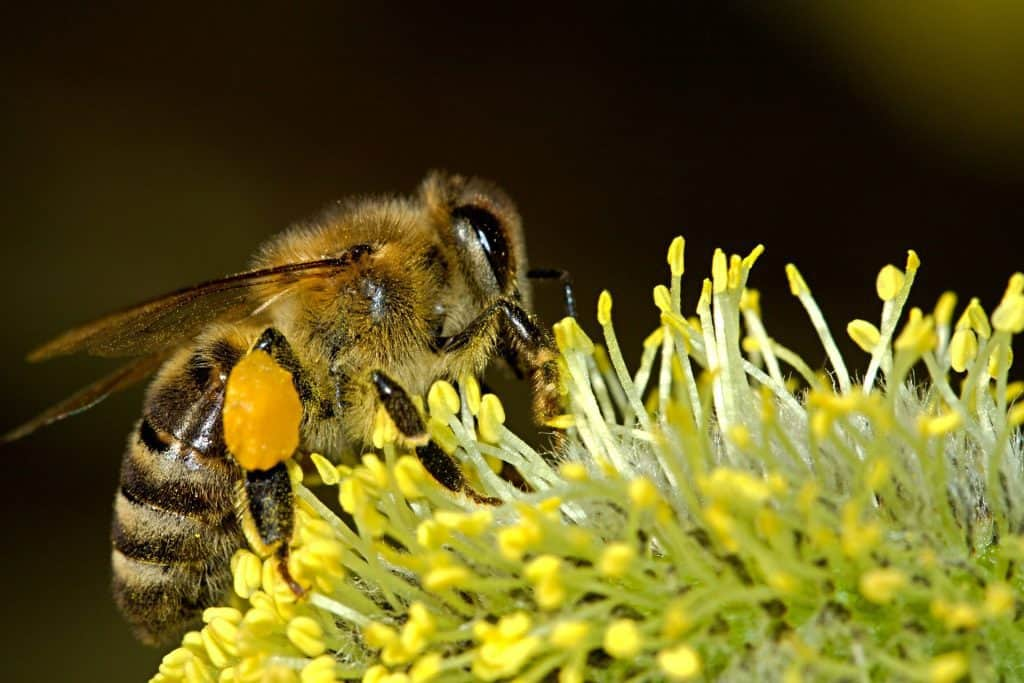 Bee on a flower with big pollen pants