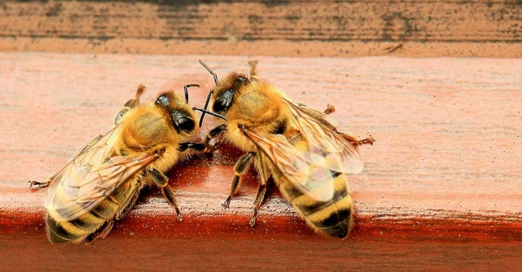 Two Bees on ledge