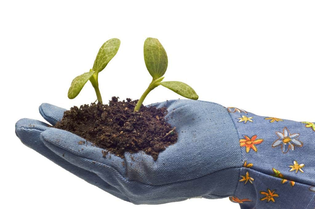 Garden gloves holding dirt and seedlings