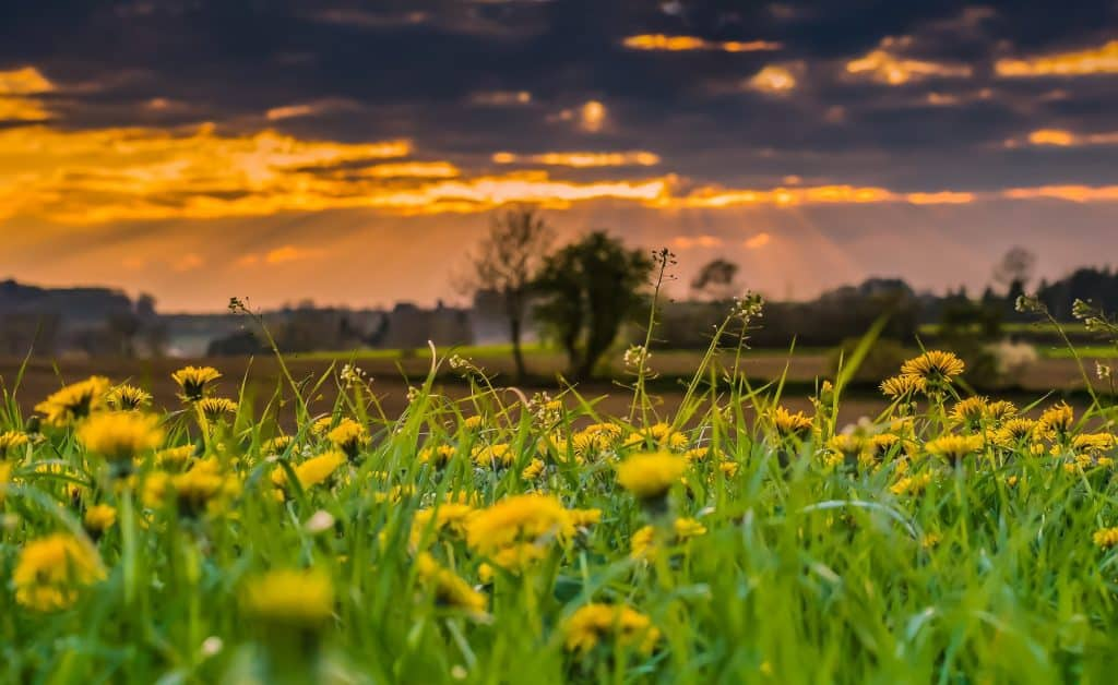 Dandelion field with sun setting in background