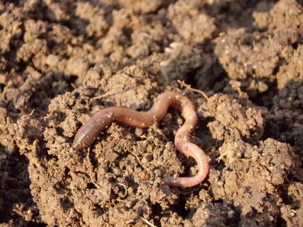 Earthworm on the dirt