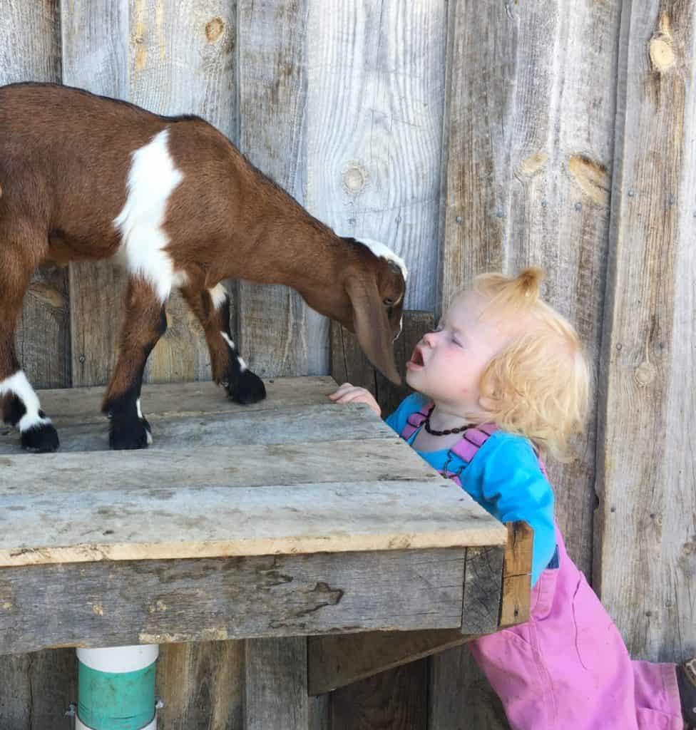 Goat-Mineral-feeder