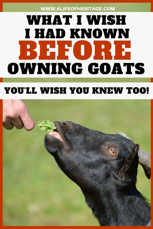 Raising goats and the care they require are important to understand before you bring them home! Find out here what you will wish you had known before bringing home your first goat.