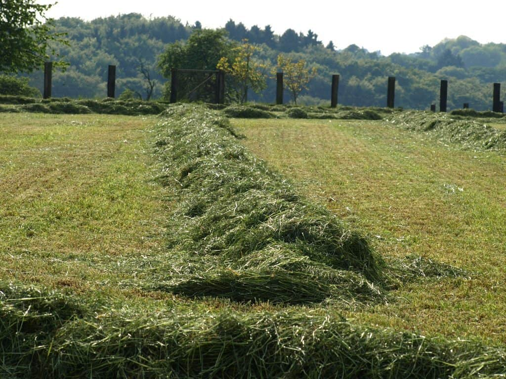 Hay in a windrow not baled yet