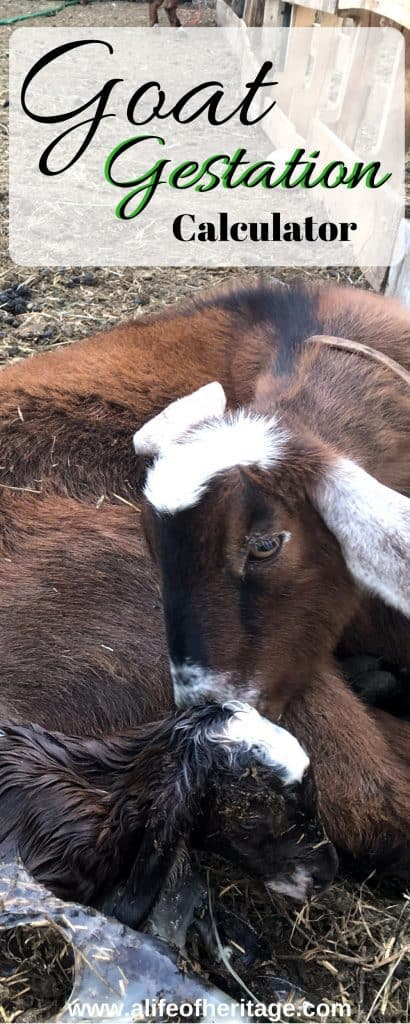 Goat gestation calculator and how to care for a goat during pregnancy