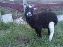 Broken leg on goat. Emergency health plan for animals
