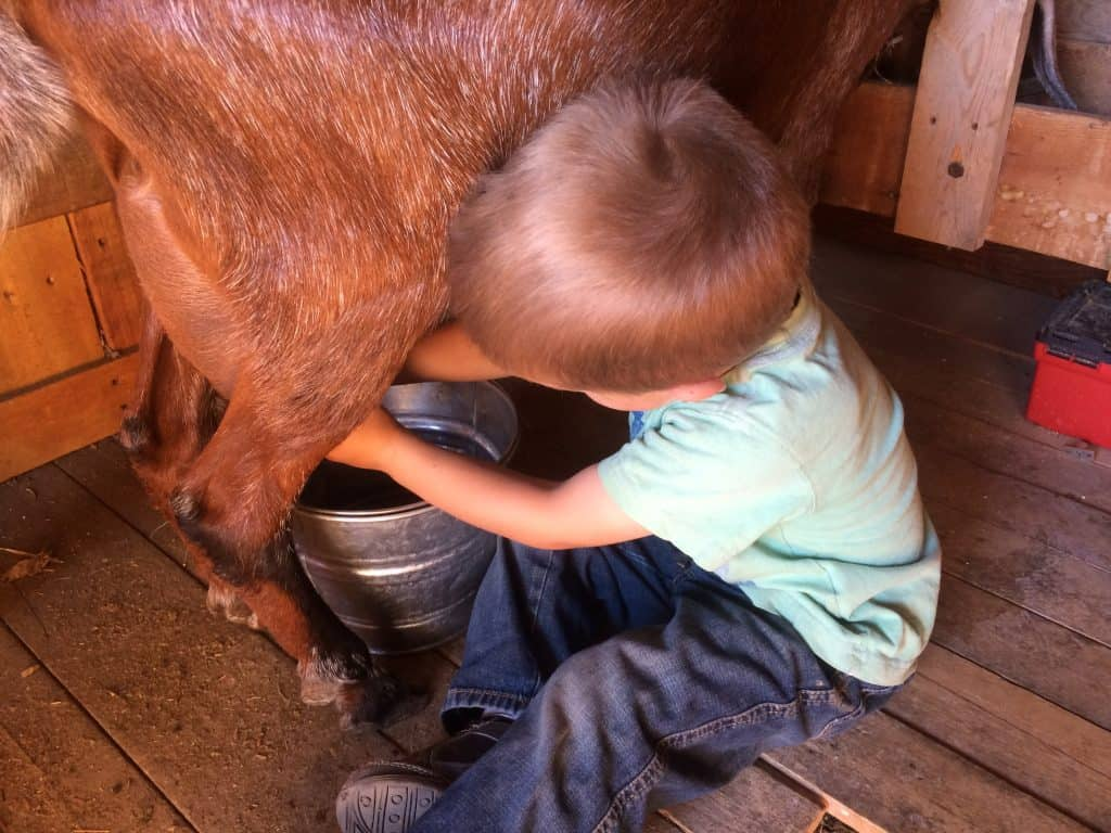 Young boy milking a goat