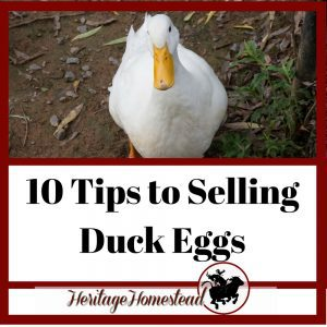 10 Tips to Selling Duck Eggs (+All the Duck Egg Facts)