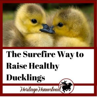 The Sure Fire Way to Raise Healthy Ducklings