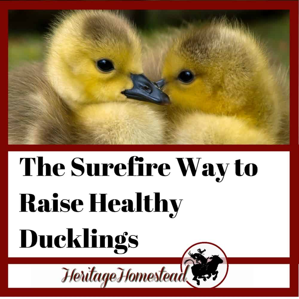 The Sure Fire Way To Raise Healthy Ducklings A Life Of Heritage