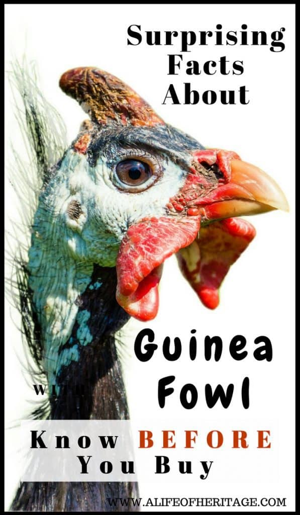 Guinea Fowl and the Surprising Facts About Them
