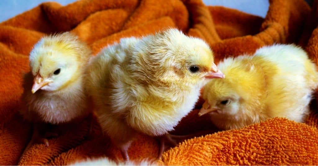 Baby Chicks Just Hatched from Hatching Eggs