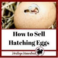 Chick Hatching. A complete guide to hatching eggs and selling hatching eggs.