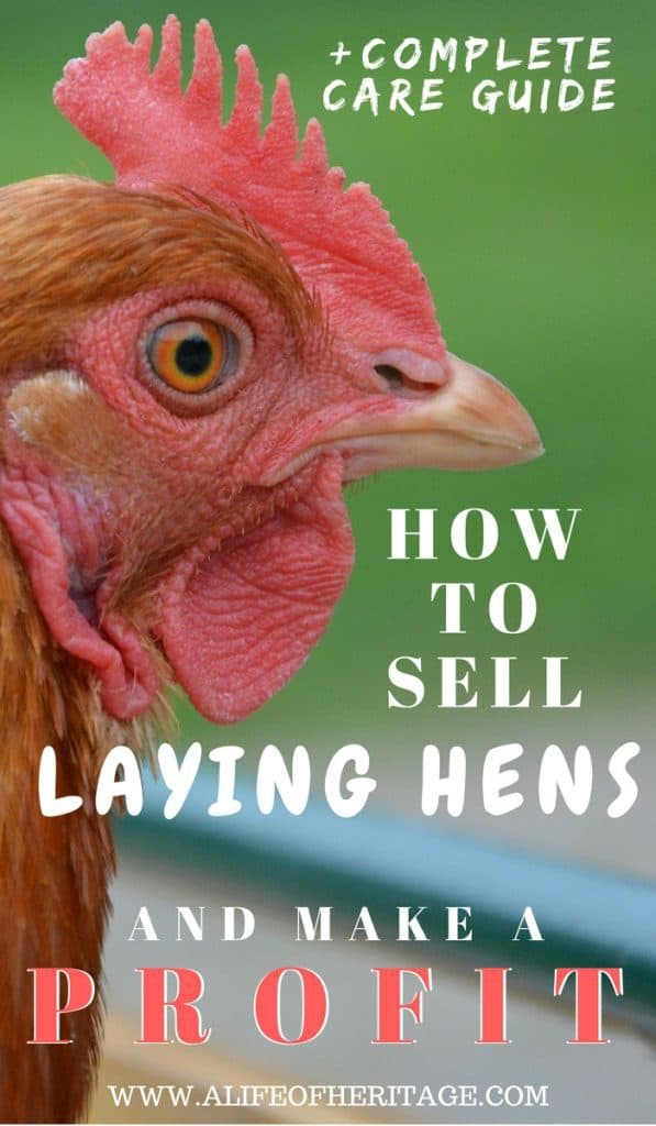 Laying Hen and how to profit selling laying hens