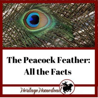 The Peacock Feather: All the Facts (+YOU Can Make a Profit with Them!)