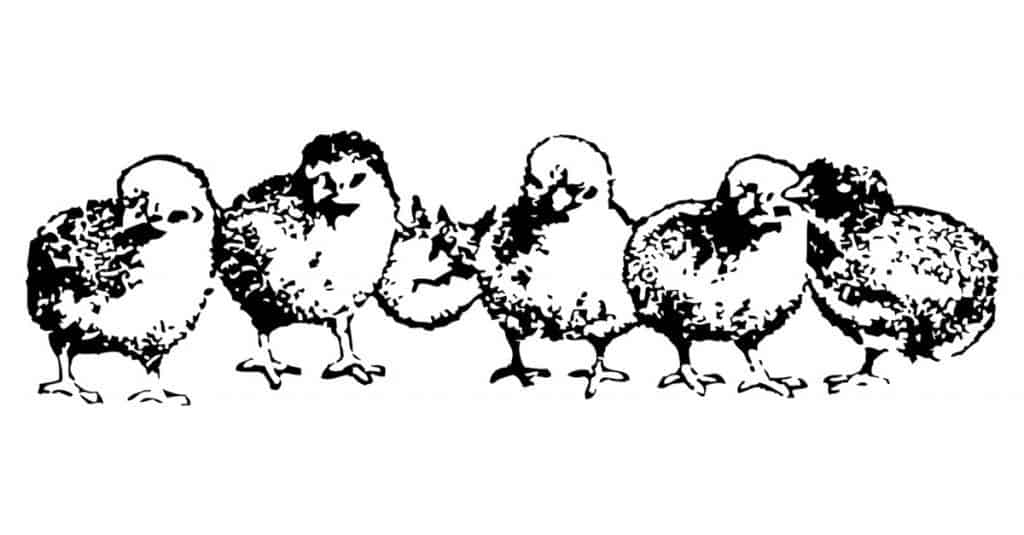 Poultry farming and raising baby chicks to broilers