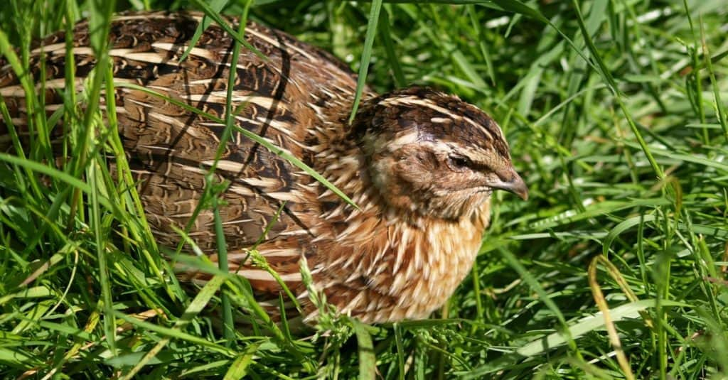 Quail hiding in the grass
