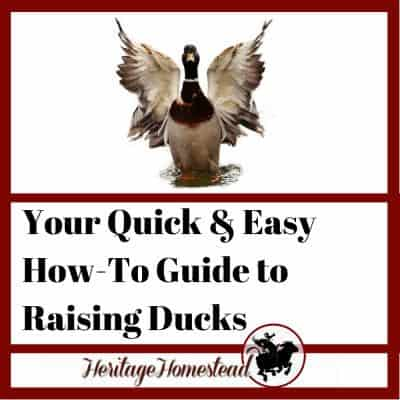 Your Quick and Easy How-To Guide to Raising Ducks
