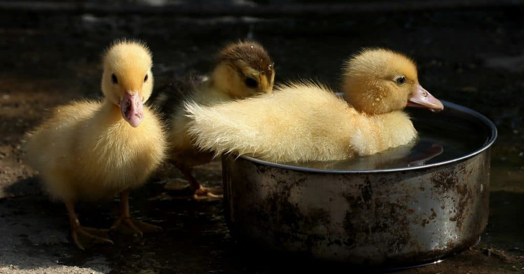 Ducklings. Yellow ducklings playing in water