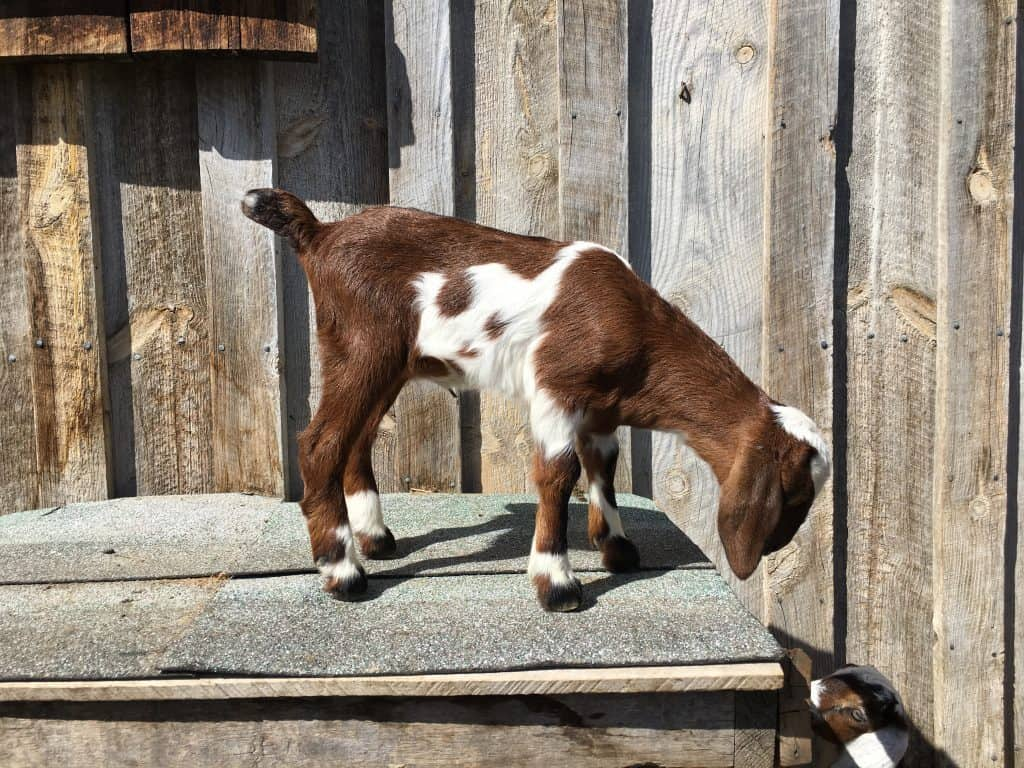 Giraffe is a beautiful Mini-Nubian goat born in 2018 in Lewistown Montana