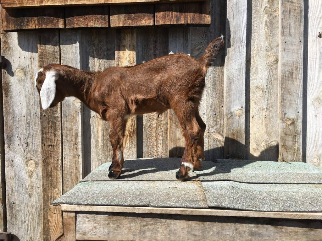 Giselle is a Mini-Nubian doeling for sale in Lewistown Montana