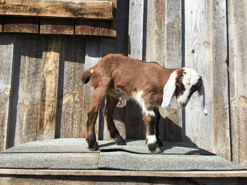 Gracie is a Mini-Nubian doeling for sale in Lewistown Montana