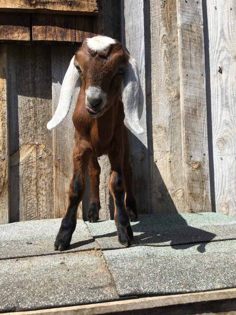 Jake is a Mini-Nubian buckling for sale in Lewistown Montana