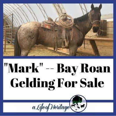 """Mark"" — Bay Roan For Sale"