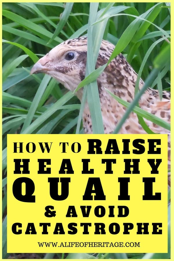 Quail in the grass and how to raise quail