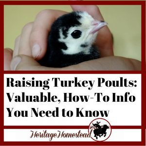 Baby Turkey: The Valuable How-To Information You Need to Raise Poults