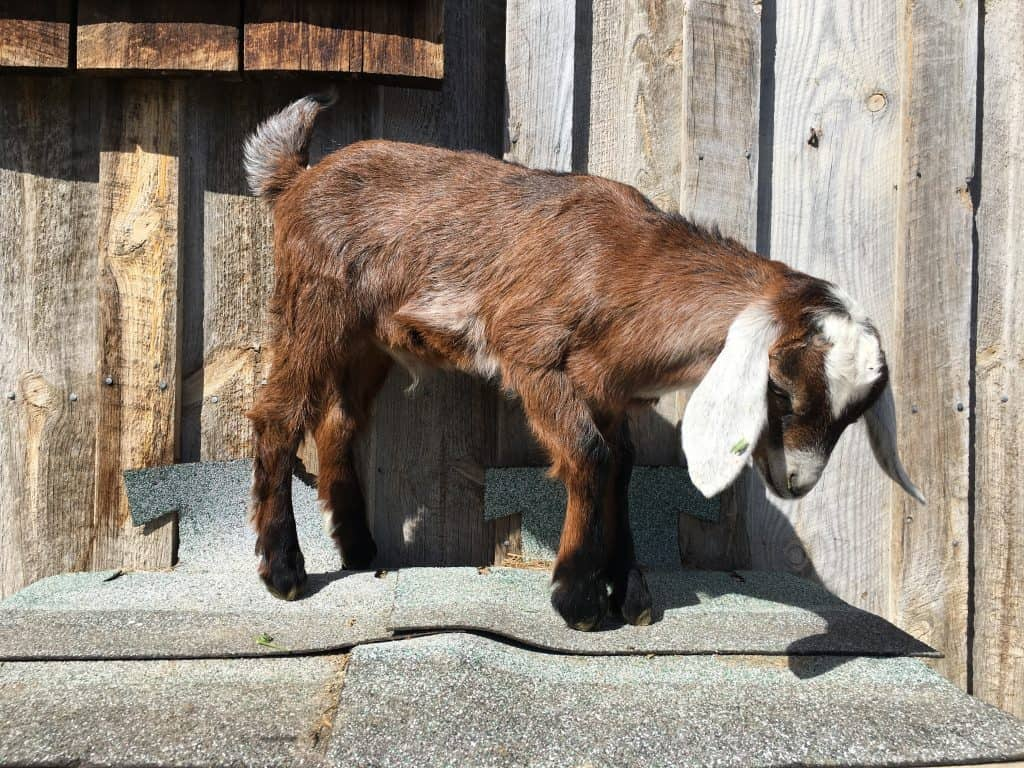 A baby goat named Sarge for sale in Lewistown, Montana
