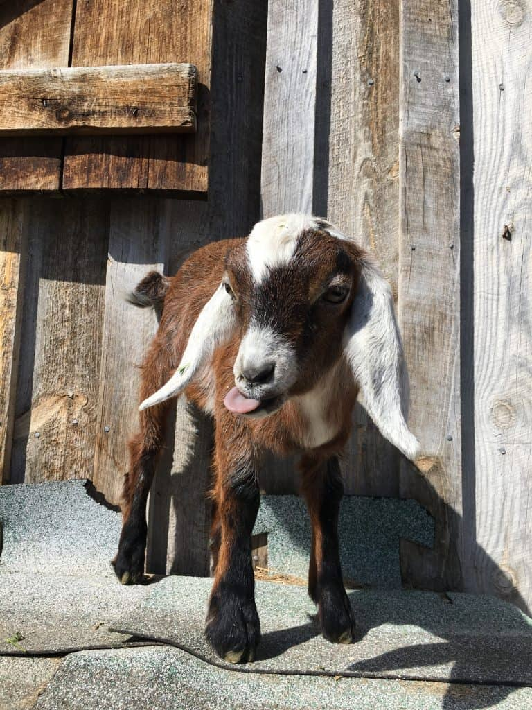 Sarge is a Mini-Nubian Goat for sale in 2018 in Lewistown Montana