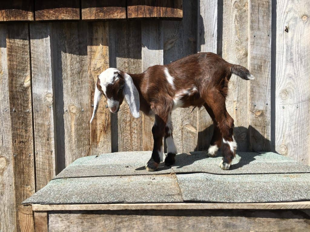 Shmiles is a cute and friendly Mini-Nubian buckling. Goats for sale in Lewistown Montana