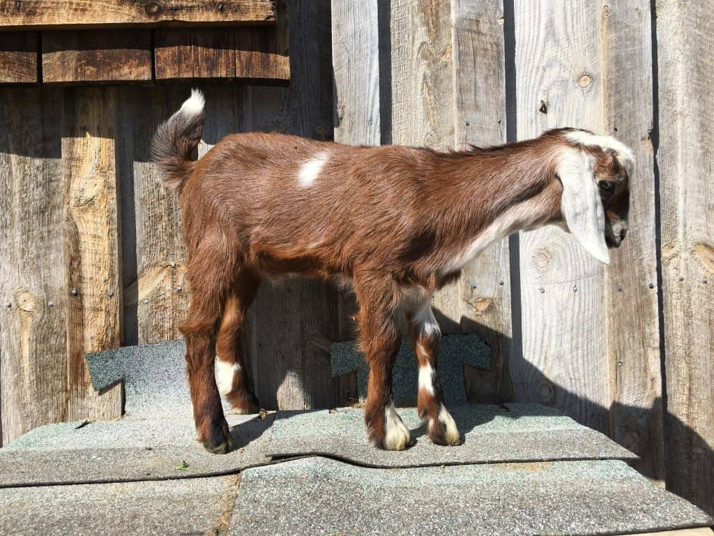 Skip is a cute Mini-Nubian for sale in Lewistown Montana