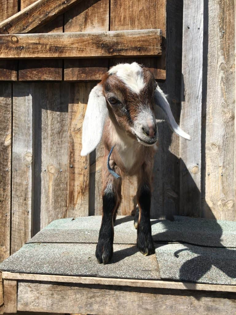 Skye is a sweet and friendly Mini-Nubian wethered goat for sale in Lewistown Montana