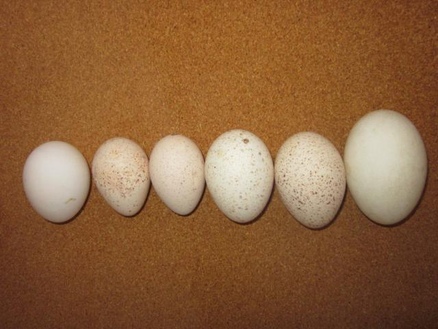 Comparing the size of egg, turkey eggs and goose egg