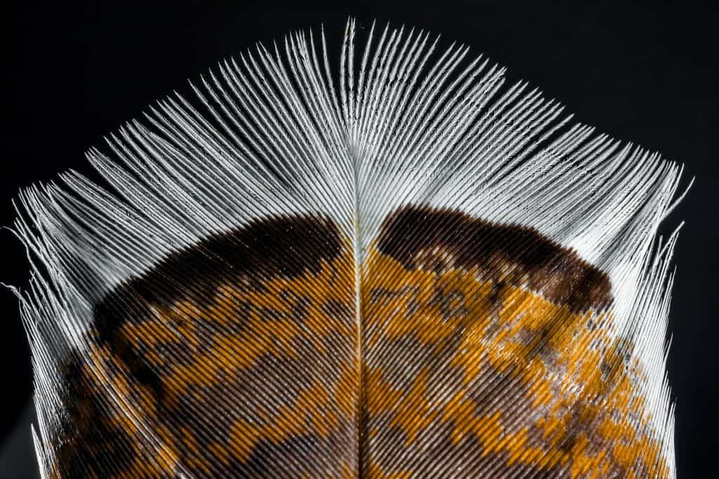 Beautiful bronze, brown and white turkey feather