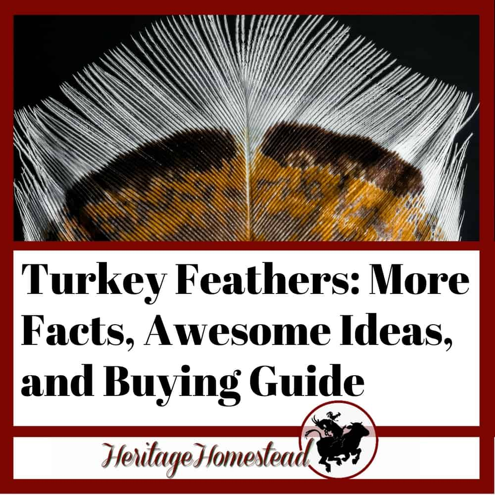 Turkey Feathers More Facts Awesome Ideas And Buying Guide A