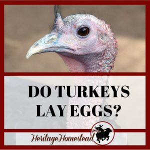 Do Turkeys Lay Eggs? Your Questions Answered!
