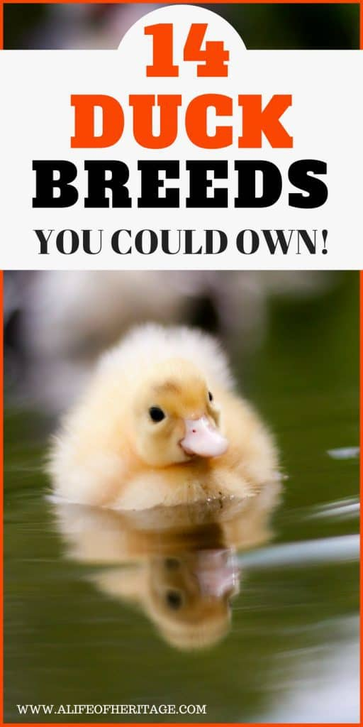 Duck Breeds. There are 14 ducks breeds you could own