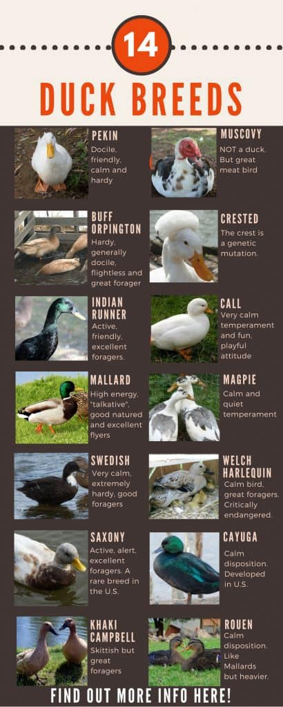 Duck Breeds Chart of 14 ducks that people can own in their own back yard.