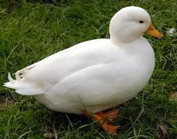 Duck Breeds: White call duck