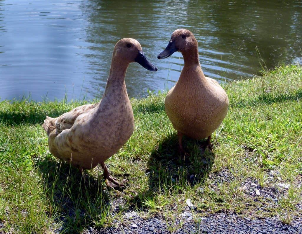 Duck Breeds: The Khaki Campbell Duck pair standing next to the water