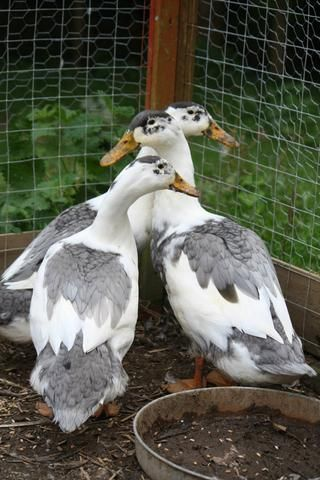Duck Breeds: 3 Magpie Ducks with white and gray feathers
