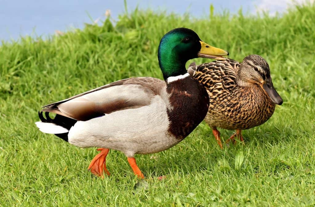 Duck Breeds: Mallard Ducks with a beautiful green head and a tan body.