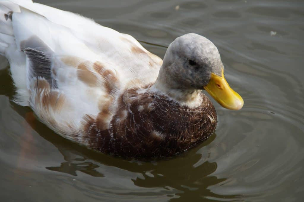 Duck Breeds: Saxony duck swimming in the water