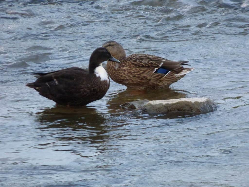 Duck Breeds: Swedish Ducks with a gray body and white chest playing in the water